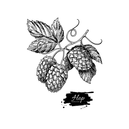 Hop plant vector drawing illustration. Hand drawn black beer hopes with leaves on branch. Vintage isolated object on  white background. Engraved element for label, banner, icon, menu, oktoberfest Ilustração