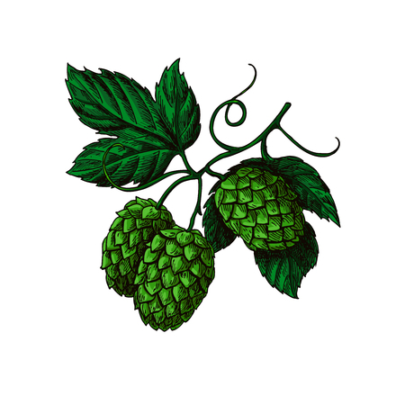 hopes: Hop plant vector drawing illustration. Hand drawn artistic beer hopes with leaves on branch. Vintage isolated object on  white background. Engraved element for label, banner, icon, menu, oktoberfest