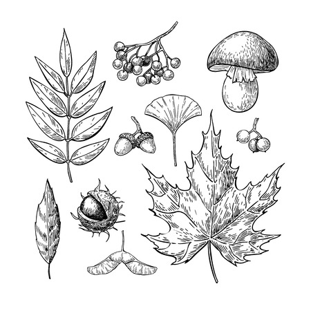 Autumn vector set with leaves, berries, chestnuts, nuts, mushrooms and acorns. Detailed forest botanical elements for decoration. Vintage fall seasonal decor. Oak, maple, chestnut leaf drawing.