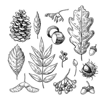 vector de otoño conjunto con las hojas, bayas, piñas, nueces, hongos y bellotas. elementos botánicos forestales detalladas para la decoración. caída de la vendimia decoración de temporada. Roble, arce, dibujo de hoja de castaño.