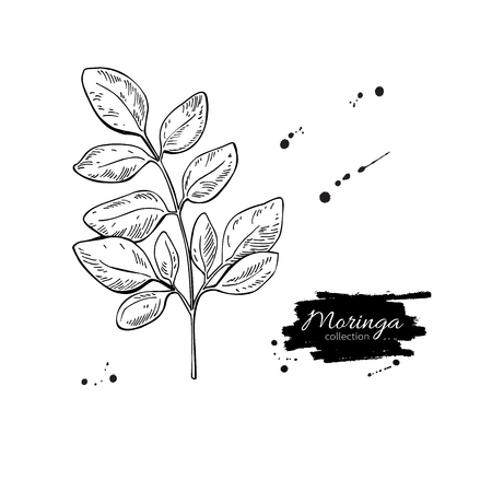 mulangay: Moringa leaves vector superfood drawing. Isolated hand drawn  illustration on white background. Organic healthy food. Great for banner, poster, label, sign Illustration