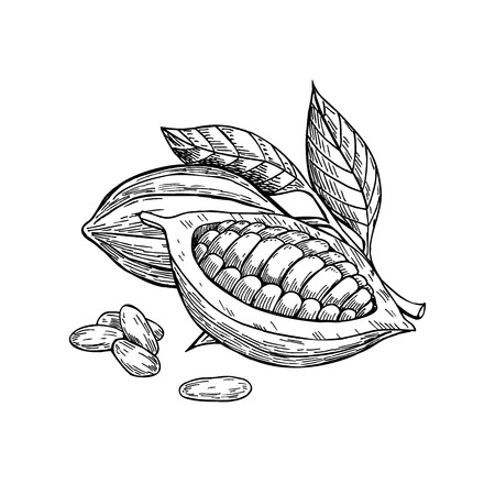 코코아 벡터 superfood 드로잉 설정합니다. 격리 된 손으로 그려진 된 그림 흰색 배경입니다. 유기농 건강 식품. 배너, 포스터, 라벨에 적합 일러스트