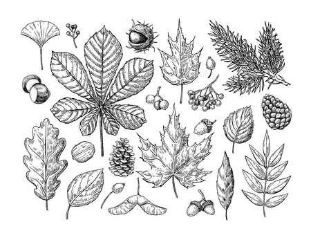 Autumn vector set with leaves, berries, fir cones, nuts, mushrooms and acorns. Detailed forest botanical elements for decoration. Vintage fall seasonal decor. Oak, maple, chestnut leaf drawing. Vettoriali