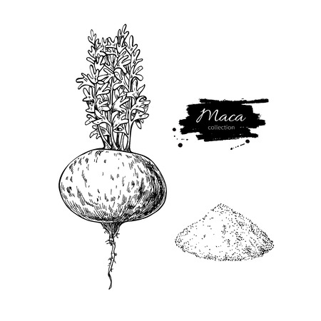 Maca plant and powder vector superfood drawing. Isolated hand drawn  illustration on white background. Organic healthy food. Great for banner, poster, label, sign Ilustração