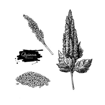 キノア ベクトル スーパー フードを描画します。隔離された手は、白い背景の上の図を描いた。有機健康食品。バナー、ポスター、ラベルに最適