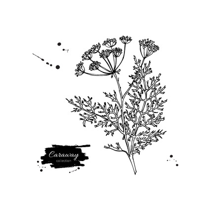 flavor: Caraway plant vector hand drawn illustration. Isolated spice object. Engraved style seasoning. Detailed organic product sketch. Cooking flavor ingredient. Great for label, sign, icon