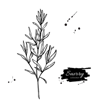 flavor: Savory vector hand drawn illustration. Isolated spice object. Engraved style seasoning. Detailed organic product sketch. Cooking flavor ingredient. Great for label, sign, icon