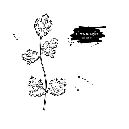 flavor: Coriander plant vector hand drawn illustration. Isolated spice object. Engraved style seasoning. Detailed organic product sketch. Cooking flavor ingredient. Great for label, sign, icon
