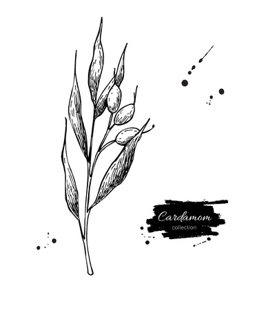 flavor: Cardamom plant vector hand drawn illustration. Isolated spice object. Engraved style seasoning. Detailed organic product sketch. Cooking flavor ingredient. Great for label, sign, icon Illustration