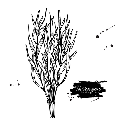tarragon: Tarragon vector hand drawn illustration. Isolated spice object. Engraved style seasoning. Detailed organic product sketch. Cooking flavor ingredient. Great for label, sign, icon