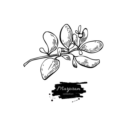 marjoram: Marjoram vector hand drawn illustration. Isolated spice object. Engraved style seasoning. Detailed organic product sketch. Cooking flavor ingredient. Great for label, sign, icon
