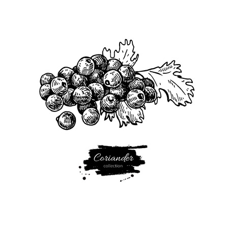 Coriander seed heap vector hand drawn illustration. Isolated spice object. Engraved style seasoning. Detailed organic product sketch. Cooking flavor ingredient. Great for label, sign, icon Vettoriali