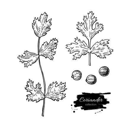 コリアンダー ベクトル手描きイラスト セット。孤立したスパイス オブジェクト。調味料刻まれたスタイル。有機製品の詳細なスケッチをします。  イラスト・ベクター素材