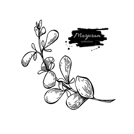 Marjoram vector hand drawn illustration. Isolated spice object. Engraved style seasoning. Detailed organic product sketch. Cooking flavor ingredient. Great for label, sign, icon