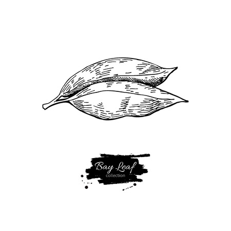 laurel leaf: Bay leaf vector hand drawn illustration. Isolated spice object. Engraved style seasoning laurel. Detailed organic product sketch. Cooking flavor ingredient. Great for label, sign, icon