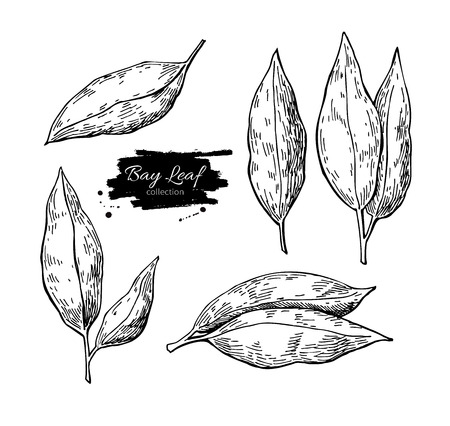 laurel leaf: Bay leaf vector hand drawn illustration set. Isolated spice object. Engraved style seasoning laurel. Detailed organic product sketch. Cooking flavor ingredient. Great for label, sign, icon