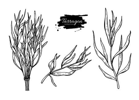 tarragon: Tarragon vector hand drawn illustration set. Isolated spice object. Engraved style seasoning. Detailed organic product sketch. Cooking flavor ingredient. Great for label, sign, icon