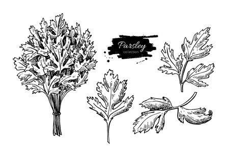 flavor: Parsley vector hand drawn illustration set. Isolated spice object. Engraved style seasoning. Detailed organic product sketch. Cooking flavor ingredient. Great for label, sign, icon Illustration