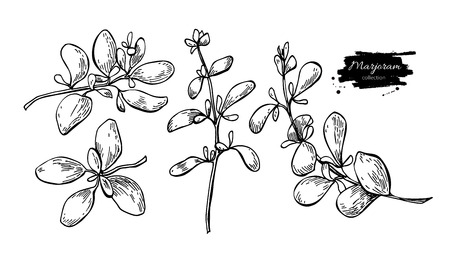 marjoram: Marjoram vector hand drawn illustration set. Isolated spice object. Engraved style seasoning. Detailed organic product sketch. Cooking flavor ingredient. Great for label, sign, icon