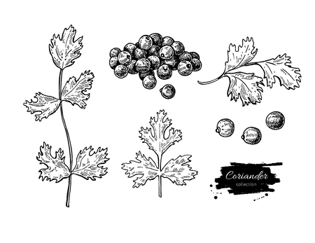 cilantro: Coriander vector hand drawn illustration set. Isolated spice object. Engraved style seasoning. Detailed organic product sketch. Cooking flavor ingredient. Great for label, sign, icon