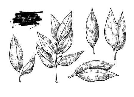 Bay leaf vector hand drawn illustration set. Isolated spice object. Engraved style seasoning laurel. Detailed organic product sketch. Cooking flavor ingredient. Great for label, sign, icon