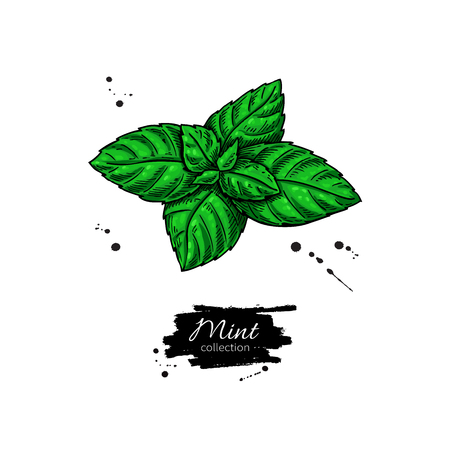 spicy plant: Mint vector drawing. Isolated plant and leaves. Herbal hand drawn style illustration. Detailed organic product sketch. Cooking spicy ingredient