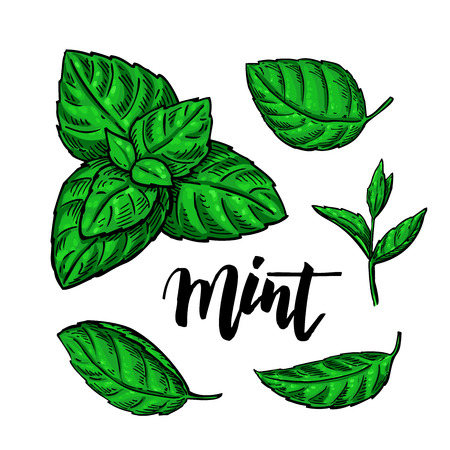 Mint vector drawing set. Isolated plant and leaves. Herbal hand drawn artistic style illustration. Detailed organic product sketch. Cooking spicy ingredient