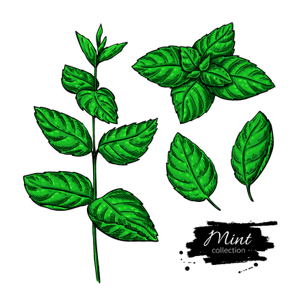 spicy plant: Mint vector drawing set. Isolated plant and leaves. Herbal hand drawn artistic style illustration. Detailed organic product sketch. Cooking spicy ingredient