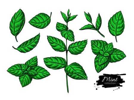 Mint vector drawing set. Isolated plant and leaves. Herbal hand