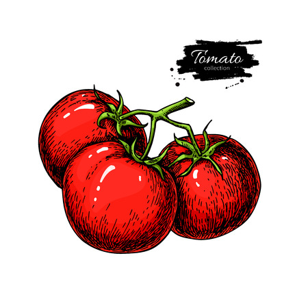 Tomato vector drawing. Isolated tomatoes on branch. Vegetable Illustration