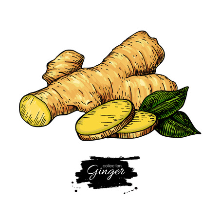 Ginger root vector hand drawn illustration.  Root and sliced pie Stock Photo