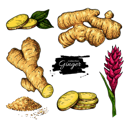 Ginger set. Vector hand drawn root, sliced pieces, powder and flower. Artistic style colorful flavor illustration. Herbal spice. Detox food ingredient. Stock Illustratie