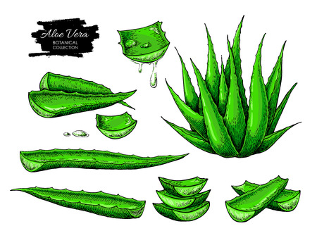 Aloe vera vector illustration set. Hand drawn artistic isolated object on white background. Botanical drawing of plant, leaf, sliced pieces with drops of juice. Natural cosmetic ingredient. Lemongrass herbal treatment. Alternative Medicine component Vettoriali