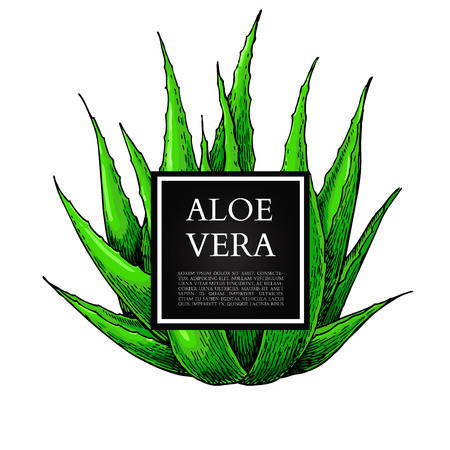 aloe vera plant: Aloe vera vector illustration with frame. Hand drawn artistic isolated object on white background. Natural cosmetic ingredient. Botanical drawing of lemongrass plant . Herbal treatment. Great for banner, poster, label, brochure template Illustration