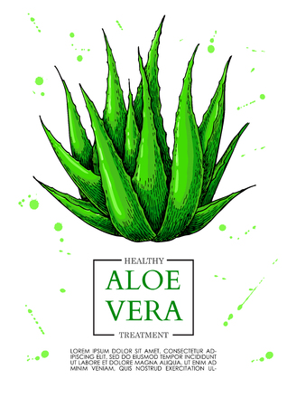 Aloe vera vector illustration. Hand drawn artistic isolated object on white background. Natural cosmetic ingredient. Botanical drawing of lemongrass plant . Herbal treatment. Great for banner, poster, label, brochure template