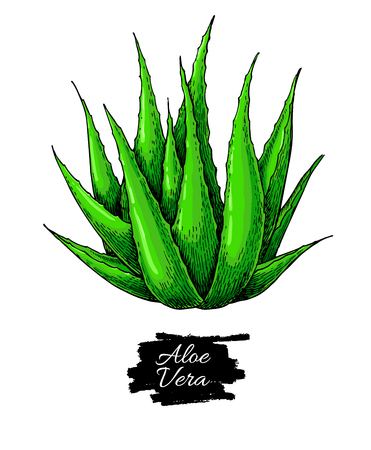 aloe vera plant: Aloe vera vector illustration. Hand drawn artistic isolated object on white background. Natural cosmetic ingredient. Botanical drawing of lemongrass plant . Herbal treatment.