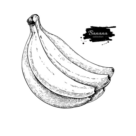 Banana bunch vector drawing. Isolated hand drawn object on white