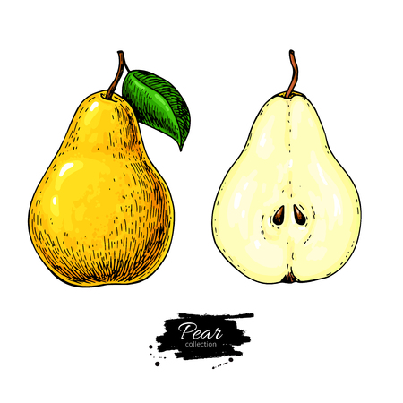 Pear vector drawing. Isolated hand drawn full pear and sliced pieces set. Summer fruit artisitc style Illustration