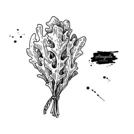 ルッコラの葉束手描きベクトル イラスト。孤立した野菜には、スタイル オブジェクトが刻まれています。