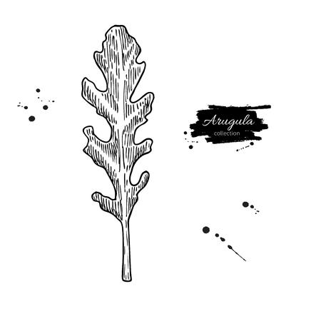 Arugula leaf hand drawn vector illustration. Isolated Vegetable engraved style object. Detailed vegetarian food