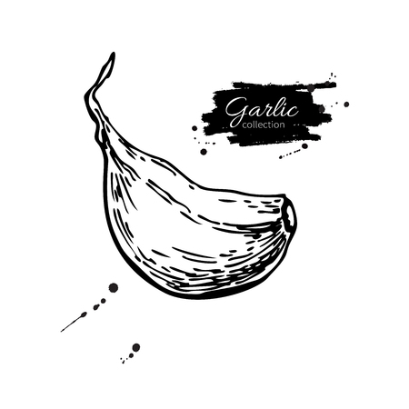 Garlic clove hand drawn vector illustration. Isolated Vegetable