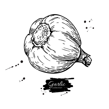 Garlic hand drawn vector illustration. Isolated Vegetable  Engra Ilustrace
