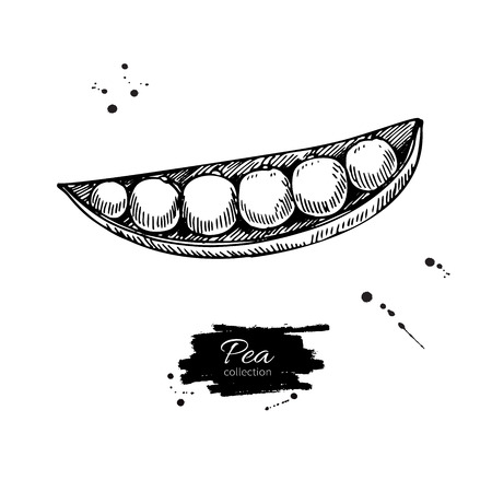 Pea hand drawn vector illustration. Isolated Vegetable engraved