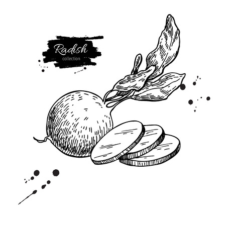 Radish hand drawn vector illustration. Isolated Vegetable engraved style object wirh sliced pieces. Zdjęcie Seryjne - 77040506