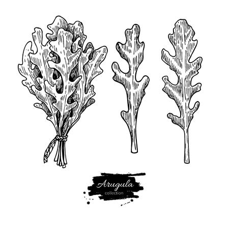Arugula leaf hand drawn vector illustration set. Isolated Vegetable engraved style object. Detailed vegetarian food