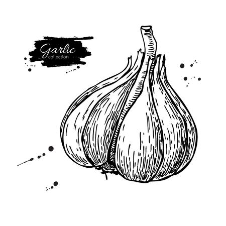 Garlic hand drawn vector illustration. Isolated Illustration