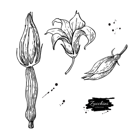 Zucchini flower hand drawn vector illustration set. Isolated Veg