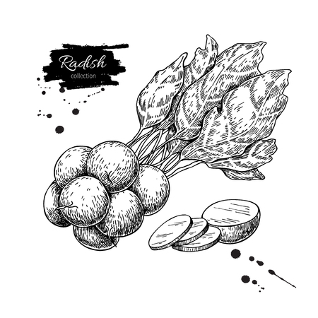 Radish bunch hand drawn vector illustration. Isolated Vegetable engraved style object. Detailed vegetarian food Çizim