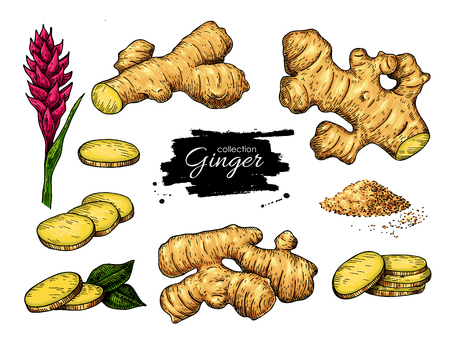 Ginger set. Vector handgetekende wortel, gesneden stukken, poeder en fl