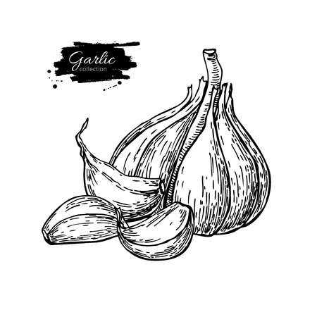Garlic hand drawn vector illustration. Isolated Vegetable with c